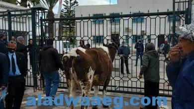 صورة احتجاجات صغار الفلاحين بربط الابقار في باب ولاية المهدية