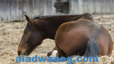 صورة معلومة على السريع لماذا يتم قتل الحصان في حالة وجود كسر بأرجله