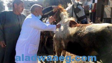 صورة خلال شهر فبراير الماضي .. بيطري الشرقية يرش 70 ألف و 935 رأس ماشية و يجرع 51 ألف و 742 رأس لمكافحة الطفيليات الداخلية والخارجية