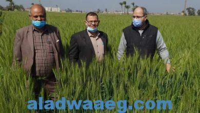 صورة الحملة القومية لمحصول القمح تتابع الحالة العامة للمحصول بمركز الفيوم
