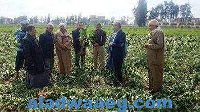 صورة يوم حصاد لحقل إرشادي مزروع بمحصول بنجر السكر بقرية شنيط الحرابوه بمركز كفر صقر